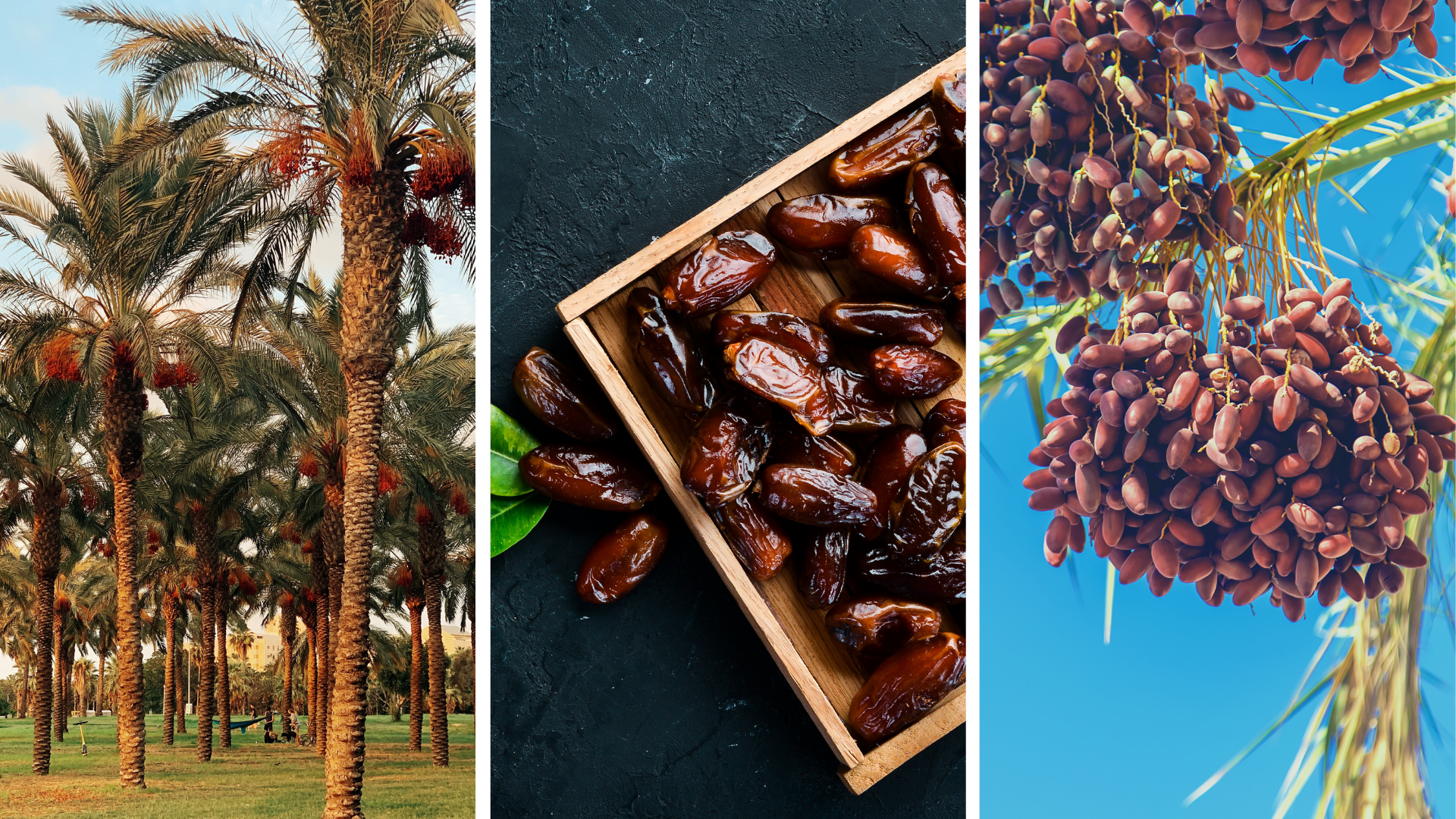 Protecting date palms from the Red Pine Weevil